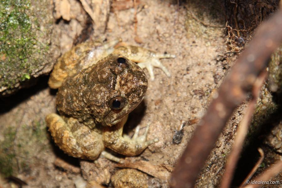 脆皮大头蛙