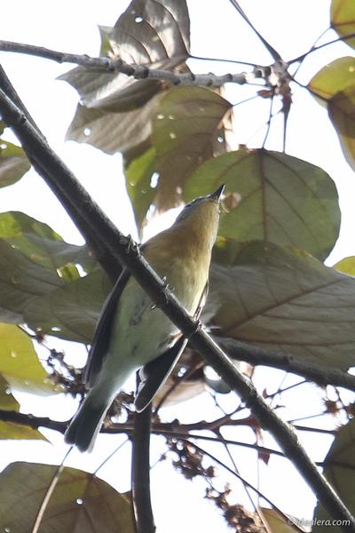 鸲姬鹟 Mugimaki Flycatcher