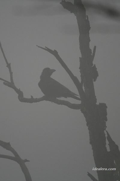 大嘴乌鸦 Large-billed Crow