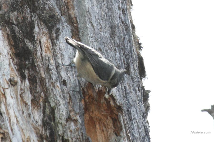 褐冠山雀 Grey-crested Tit
