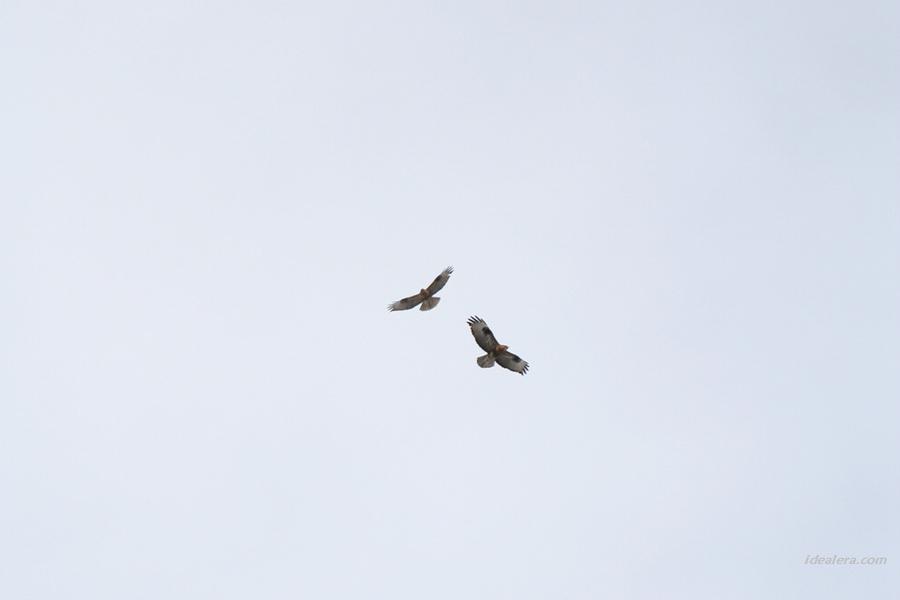 普通鵟 Common Buzzard