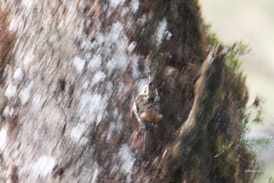 旋木雀 Eurasian Tree-Creeper