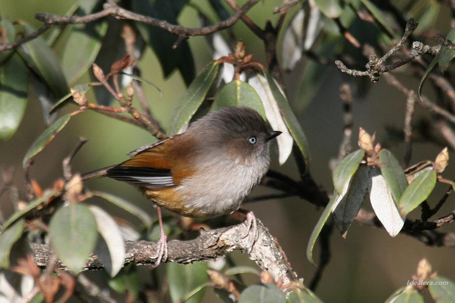 褐头雀鹛 Streak-throated Fulvetta