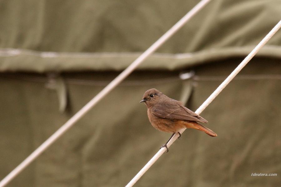 赭红尾鸲 Black Redstart