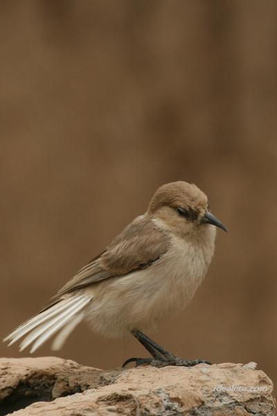 褐背拟地鸦 Tibetan Ground-Jay