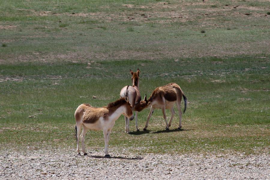 西藏野驴(学名Equus kiang)