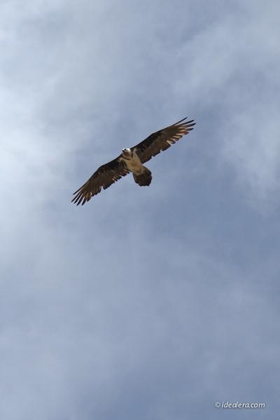 高山兀鹫 Himalayan Griffon