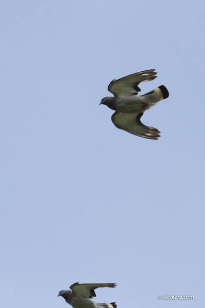 岩鸽 Hill Pigeon