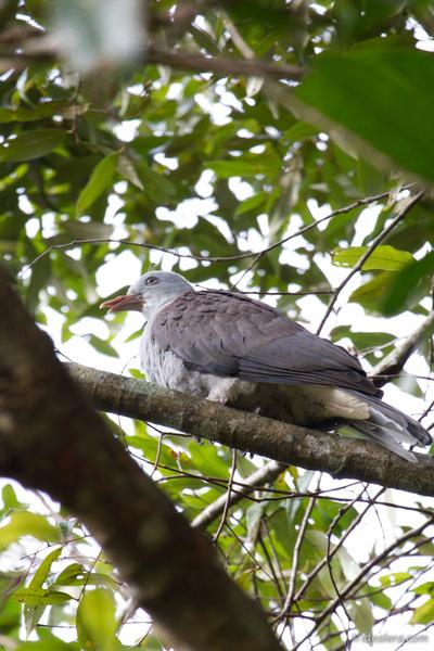 山皇鸠 Mountain Imperial Pigeon