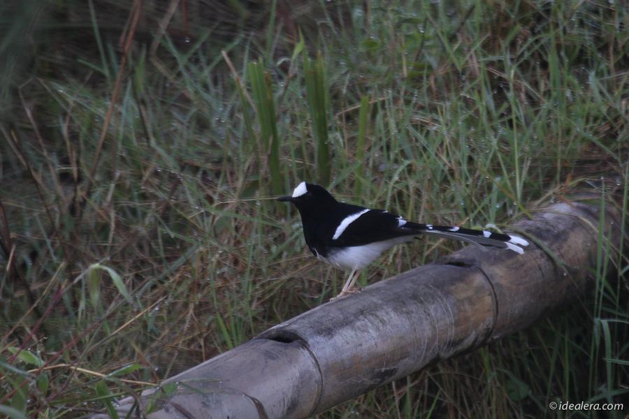 白冠燕尾 White-crowned Forktail