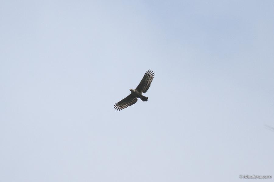 蛇雕 Crested Serpent Eagle