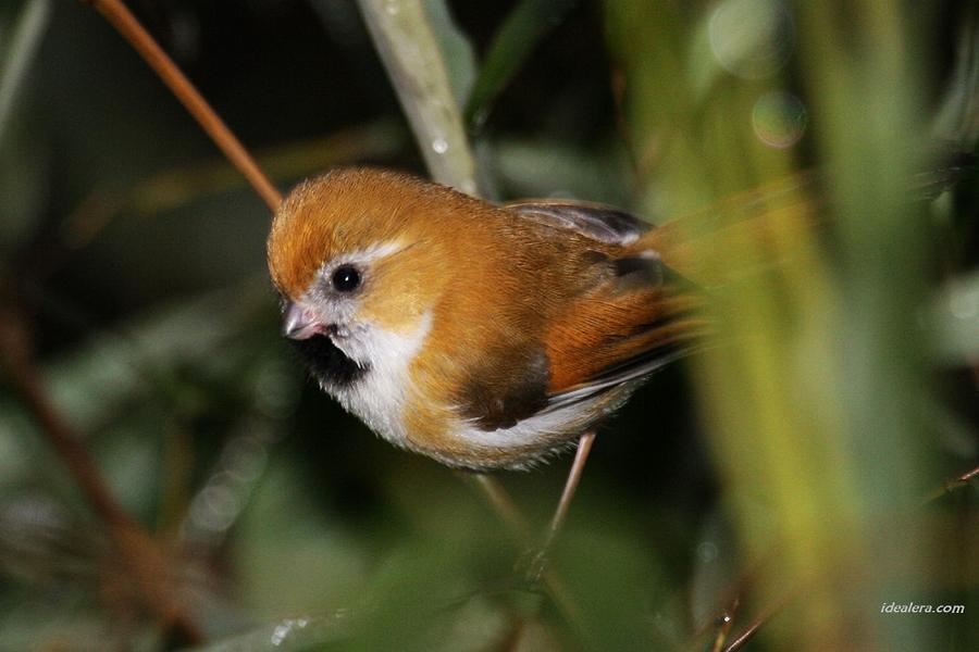 金色鸦雀 Golden Parrotbill
