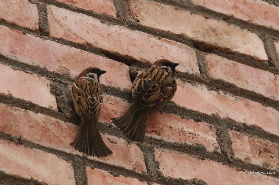 [树]麻雀 Eurasian Tree Sparrow