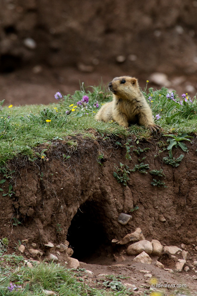 喜马拉雅旱獭(Marmota himalayana)